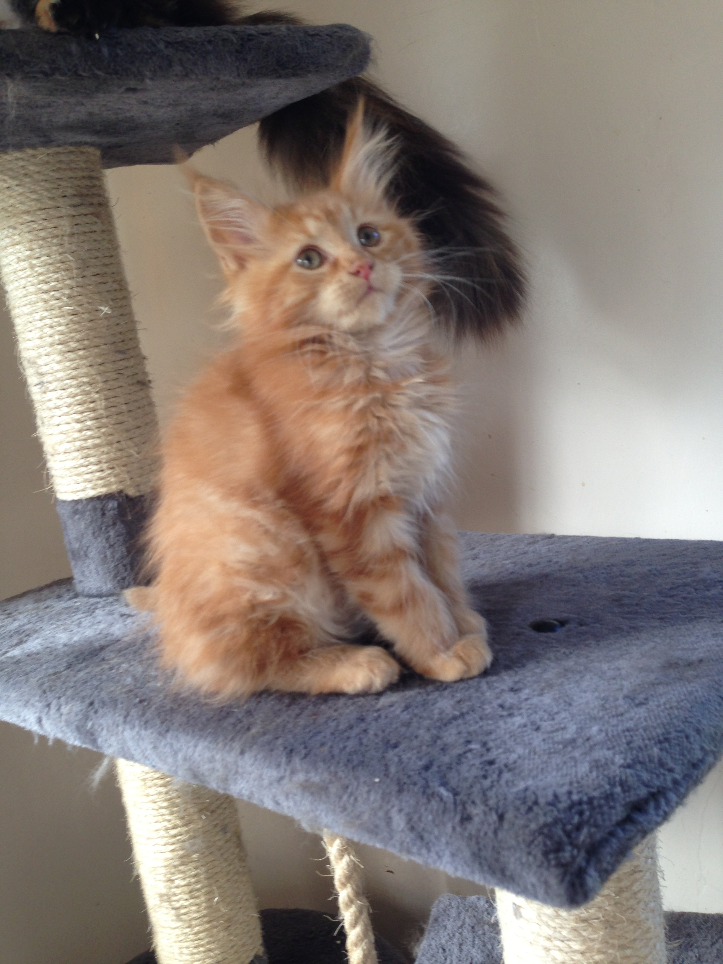 Maine coon cat for sale cornwall